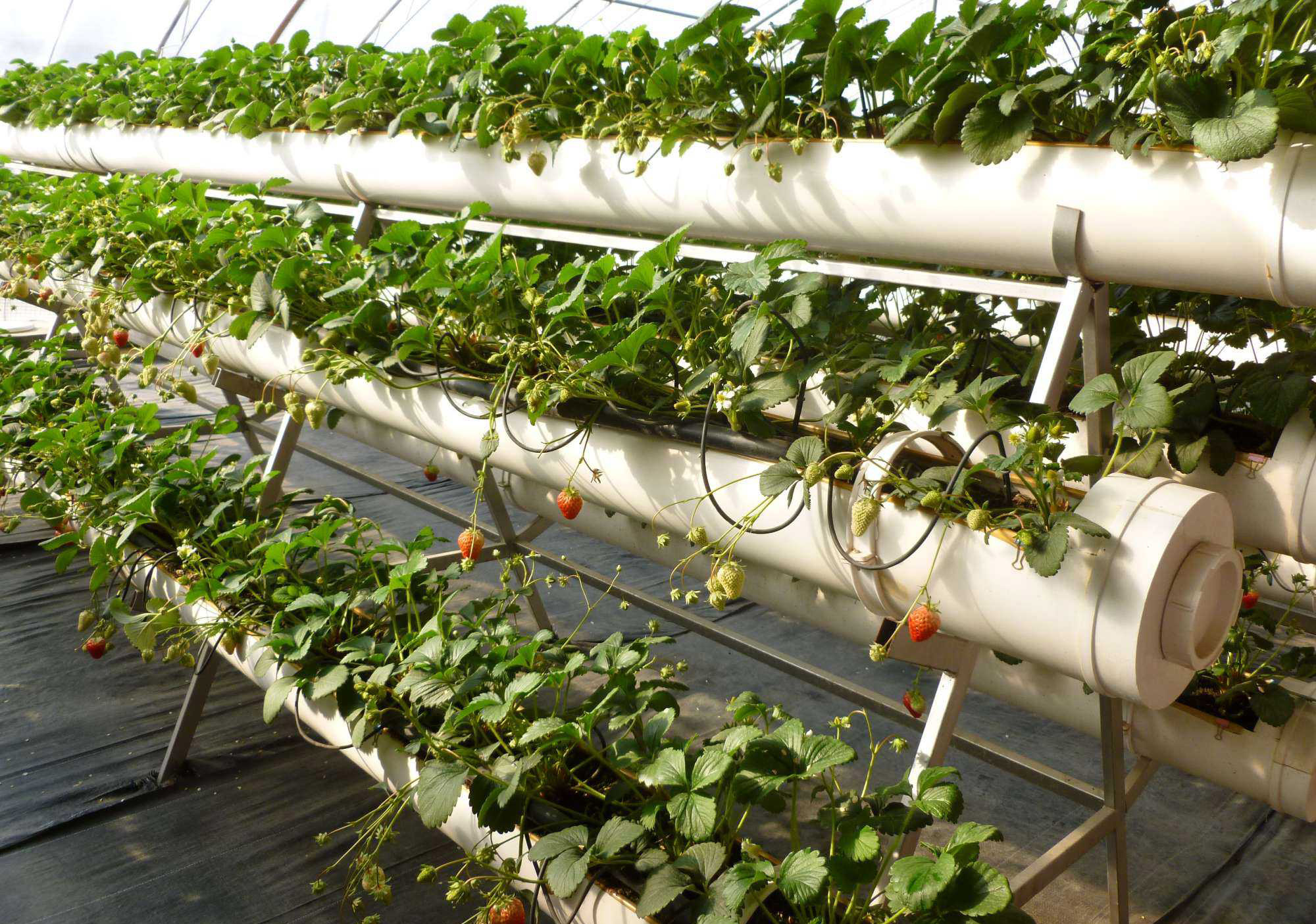 Strawberry plastic greenhouse cultivation is popular